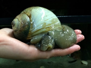 A giant moon snail which produces intricate sand collars during egg laying.